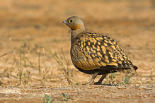 Black-bellied Sandgrouse - Pterocles orientalis