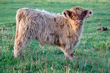 Highland Cattle - Bos primigenius taurus