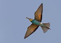 Bee-eater - Merops apiaster